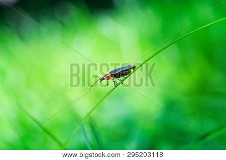 Firefly taking a step, walking down a blade of grass