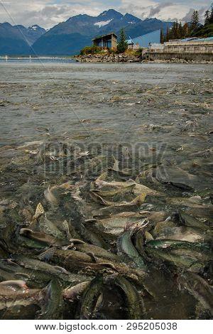 Hatchery In Valdez In Alaska In Salmon Run Season