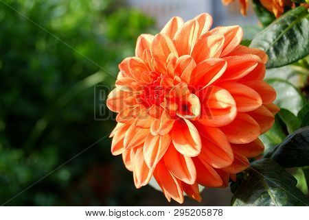 Flower Georgina In The Garden, Omsk Region, Siberia, Russia
