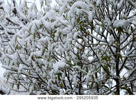 First Snow On Trees With Green Foliage, Omsk Region