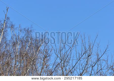Trees In The Spring Forest Against The Blue Sky