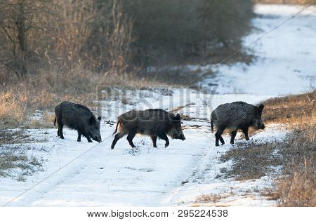 Wild Boars In Forest On Snow