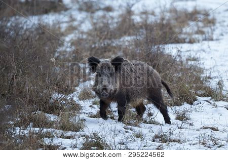Wild Boar (sus Scrofa Ferus) Standing On Snow In Forest And Looking At Camera. Wildlife In Natural H