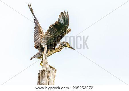 Young Limpkin Or Aramus Guarauna Spreaded Wings On The Tree, Laguna De Bacanao, Santiago De Cuba, Cu