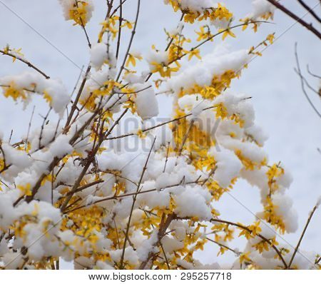 Spring Snowy Beautiful Yellow Glorious Golden Shower