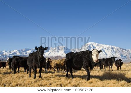 Cattle With Mountains