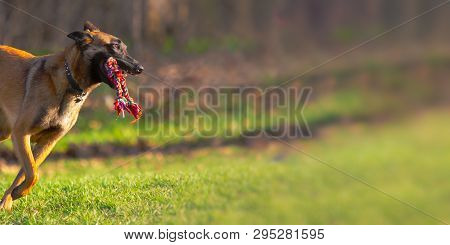 One Belgian Malinois Dog Quickly Runs With Rope Toy In Mouth Outside At Dog Park With Copy Space.