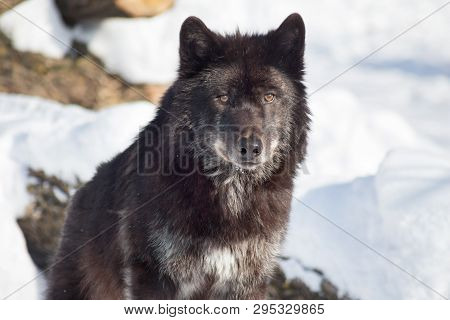 Cute Black Canadian Wolf Is Sitting On A White Snow. Close Up. Canis Lupus Pambasileus.