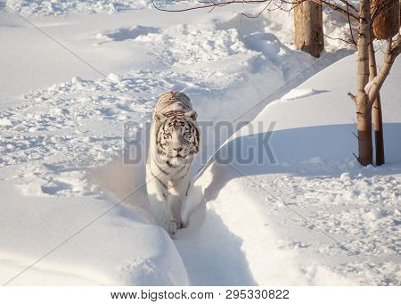 Wild White Bengal Tiger Is Looking Into The Camera.