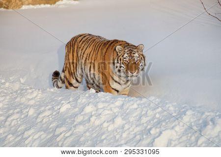 Wild Siberian Tiger Is Looking Into The Camera. Panthera Tigris Tigris.