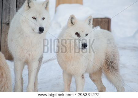 Two Wild Alaskan Tundra Wolves Close Up. Canis Lupus Arctos. Polar Wolf Or White Wolf.