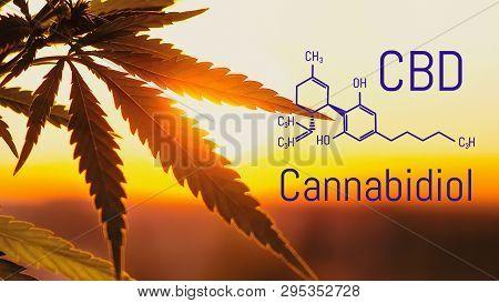 Cannabis Of The Formula Cbd, Cbd Oil. Hemp Industrial Plantation. Cannabis Plant Growing Outdoors, L