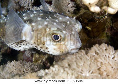 yellowspotted burrfish (cyclichthys