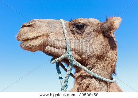einsamer Kamel mit blauer Himmel