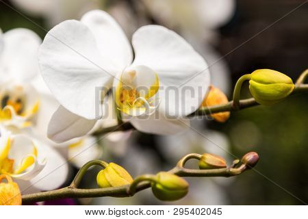 Branch Of White Orchid Flower, Close Up