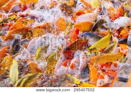 Tourism Feed Many Hungry Fancy Carp, Mirror Carp Fish, Koi In The Pond. Colorful Fish In The Pool.