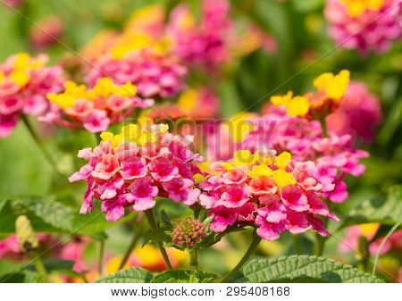 Closeup of bright, colorful Lantana flower clusters