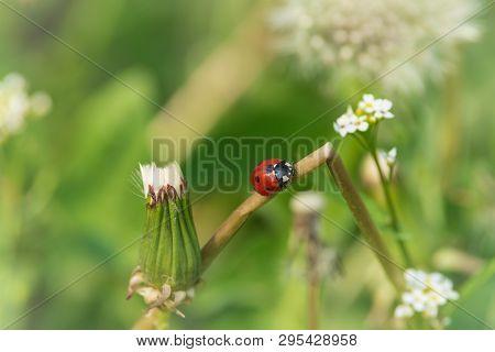 Nature Background Ladybug. Ladybug Insect In Nature. Nature Insect Ladybug On White Flowers Plant. L