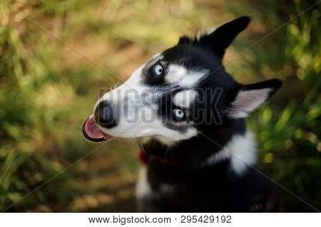 Happy Husky In The Nature Looking Back