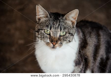 Green Eyed Cat With Its Ear Being Partially Bitten Off