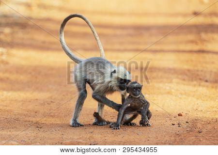 Monkey Mother Holding Baby, Tadoba, Maharashtra State Of India