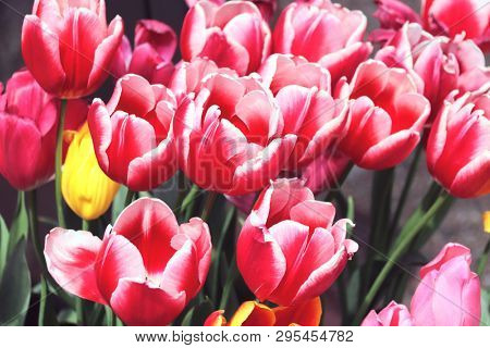 Many beautiful tulips of red color