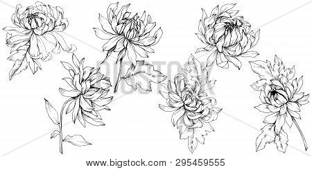Vector Chrysanthemum Floral Botanical Flowers. Black And White Engraved Ink Art. Isolated Flower Ill