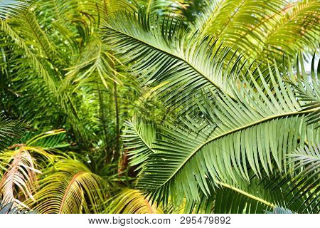 Cycads Palm Trees Leaves Growing In Botanical Garden. Green Leaves Background.
