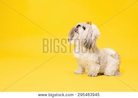 Shih-tzu Puppy Wearing Orange Bow. Cute Doggy Or Pet Is Standing Isolated On Yellow Background. The