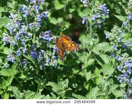 A Butterfly Arrives On Spring Blooms As It Migrates Through Texas On Its Way North.
