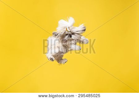 Shih-tzu Puppy Wearing Orange Bow. Cute Doggy Or Pet Is Jumping Isolated On Yellow Background. The C