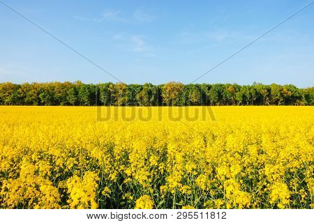 Yellow canola field in sunlight. Location rural place of Ukraine, Europe. Fresh seasonal background. Ecology concept, global warming. Concept of agrarian industry. Discover the beauty of earth.