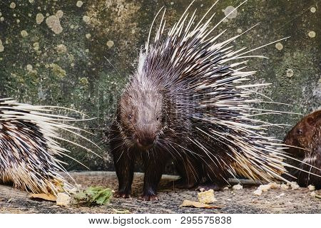 Malayan Porcupine (hystrix Brachyura) For Animals And Wildlife Concept