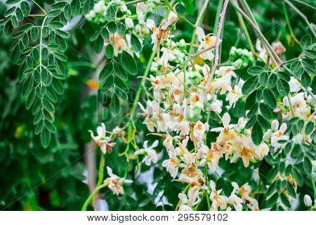 Horse Radish Tree Or Drumstick Has White And Yellow Orange Flower