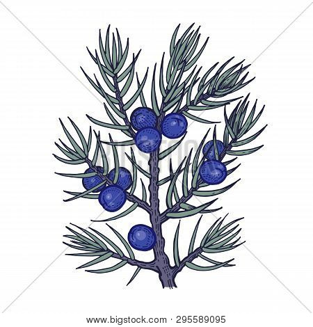Tree Branch With Juniper Berries. Color Vector Illustration Isolated On White Background. Vintage En