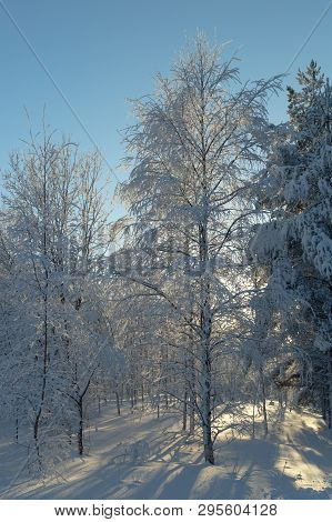 Snow Covered Birch Tree In Winter With A Blue Sky.