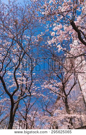 Beautiful Cherry Blossom Or Sakura In Old Downtown Kyoto, Japan
