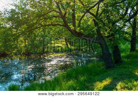 Summer forest landscape - green forest oak tree on the bank of the small forest river in summer sunny weather, summer forest in the morning