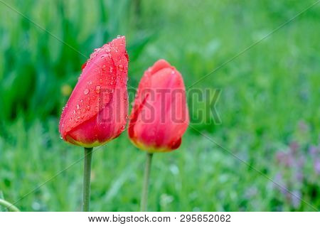 Drops Of Spring Rain On Red Tulips.  Spring Garden With Tulips And Green Grass. Picture Of A Drops O