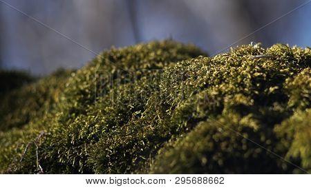 Beautiful Green Moss On The Floor, Moss Closeup, Macro. Beautiful Background Of Moss For Wallpaper