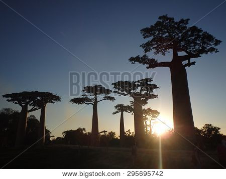 Sunset At Baobab Ally In Morondava Madagascar