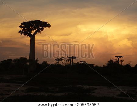 Sunset At Baobab Alley In Morondava, Madagascar