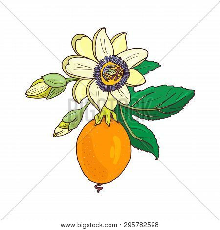 Passionflower Passiflora,passion Fruit On A White Background.isolated Exotic Flower,bud And Leaf.sum
