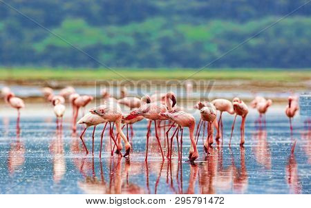 A Flock Of Pink Flamingos On Lake Nakuru, Kenya. Wildlife National Park.