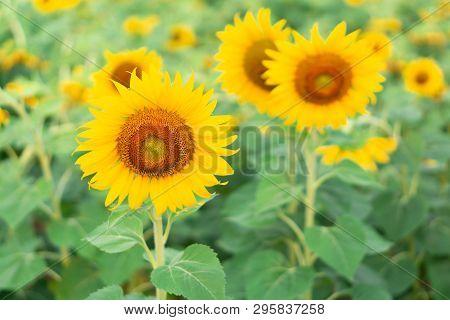 Closeup Sunflower On The Field, Selective Focus