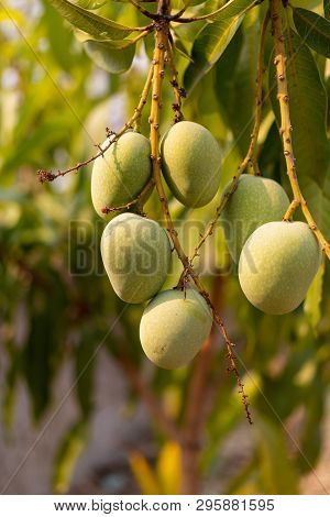 Raw Wild Green Mangoes Hanging On Branch,  Close-up