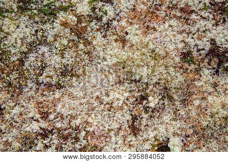 Rocks Overgrown With White Moss. Carpet Moss White. Moss On A Rock Face. Relief And Texture Of Stone