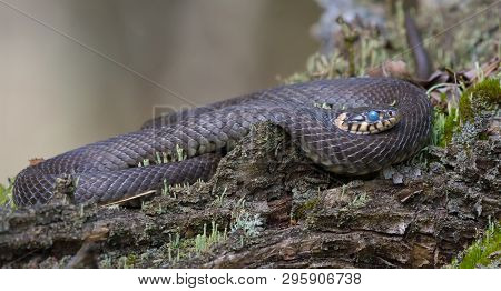 Very Big Grass Snake Lies Ringed On Tree Lichen Covered Snag While It Starts To Shed And Moult With