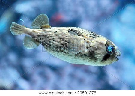 Slender-spined Porcupine Fish