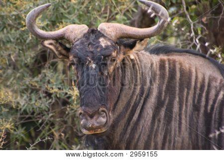 The African Buffalo